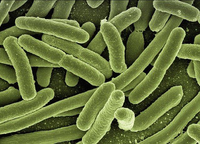 koli bacteria, escherichia coli, bacteria